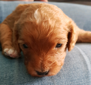 Male F1 Toy Cavoodle puppies