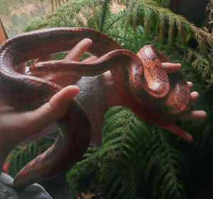 Free Cornsnakes - 2 adults and tank for sale