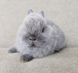 Purebred Netherland dwarf baby bunny