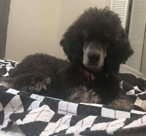 Guardian Home and FULL Rights Standard Poodle - Health Tested
