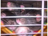 Online group for owners of fancy rats in Sussex