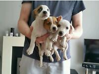 Stunning Jack Russell Puppies ready for forever homes