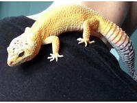 Lovely Gecko for sale