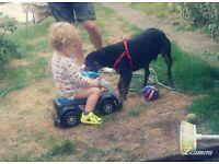 1 yr old staffy dog good with kids