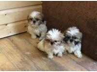 Full breed shih tzu pups