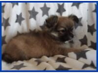 Chihuahua Adorable Male Puppy Ready Now