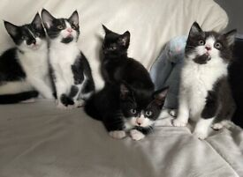8 kittens ready now