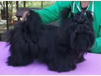 **Shih tzu puppies**