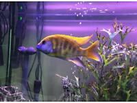 Fish (venustus)