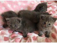 British Shorthair BSH kittens Blue