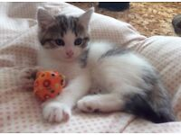 For Sale. 5 Beautifully marked Maine Coon x Bengal Hemingway kittens, 8 weeks.