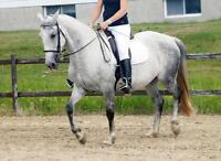 Beautiful Andalusian/Lipizzaner cross mare with great movement