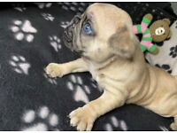Three beautiful KC registered French Bulldog Puppies