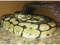 snake,bumblebee ball python +vivarium