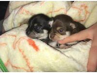 ** Stunning Chihuaha Puppies **