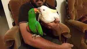 4 and half year old eclectus male parrot $750 North Plympton West Torrens Area Preview