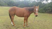 QH gelding for sale Bicheno Glamorgan Area Preview