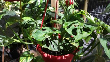 Monstera Obliqua - Adansonii Hanging Baskets