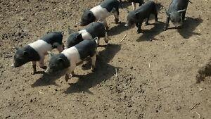 Miniature Pigs Mulbring Cessnock Area Preview