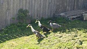 Trio of ducks Penguin Central Coast Preview