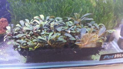 Aquarium Plant, Buce, Flame, Mini Xmas, Fissiden, Java Moss, Erio