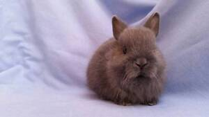 Netherland Dwarf Rabbit Babies - Purebred, Lovely Small Size Joondalup Joondalup Area Preview