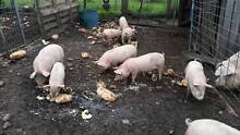 slips/piglets Campania Southern Midlands Preview