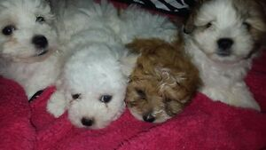 *SUPER CUTE MALTIPOO PUPS*