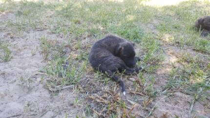 Purebred Wolfhound Puppies for Sale
