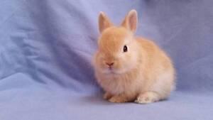 Netherland Dwarf Rabbit Baby - Purebred, Vibrant Orange Boy Joondalup Joondalup Area Preview