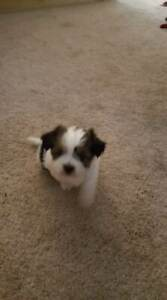 2 Adorable pups for sale