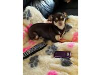 Quality chihuahua lilac chocolate kc girls for sale