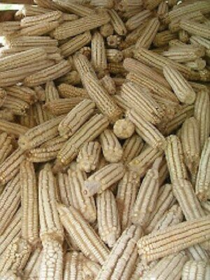 Heirloom HICKORY KING WHITE CORN Non GMO 100 SEEDS Sweet Corn if Harvested (Non Gmo Corn)