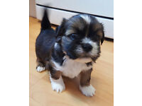 Lhasa apso kc registered puppies for sale mixed litter