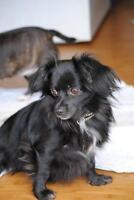 "Adult Male Dog - Pomeranian-Chihuahua: ""Wilson"""