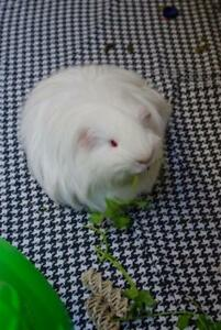 "Young Male Small & Furry - Guinea Pig: ""Barley *bonded To Baby"""