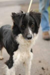 "Young Female Dog - Border Collie: ""Ally"""