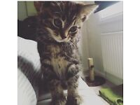 Kitten for sale around 12 weeks £40