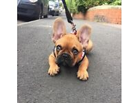 French bull dog puppy for sale