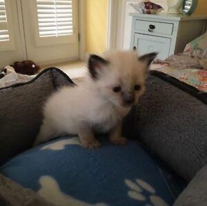 Kitten Litter 8 weeks