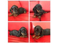 Beautiful miniature dachshund puppies for sale