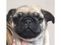 KC REGISTERED PUGS FOR SALE
