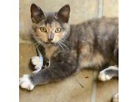 Lovely heathy happy 12 week old kitten Fully litter trained Flea & worm treated