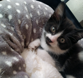 8 weeks old Black/White kitten for sale!
