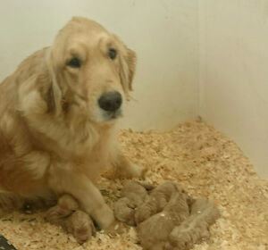 2 litters of Goldendoodle puppies!