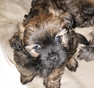 3 beautiful yorkie chihuahua shih tzu puppies available now!