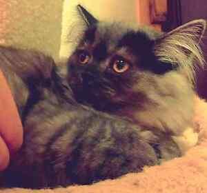 Beautiful Male Persian Kitten Last One
