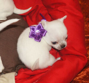 Top Tea Cup Chihuahua Puppies  Ready Now Text..(201) 719-5188
