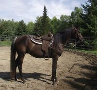 3yr old horse - backed & just completed a month's training