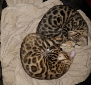 SPOTTED BENGAL KITTEN AVAILABLE